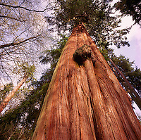 Looking up a Giant Red Cedar (Thuja plicata) Tree growing in a Pacific West Coast Forest, British Columbia, Canada