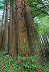 Coast redwoods at Forest of Nisene State parks