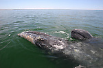 cow and calf gray whales
