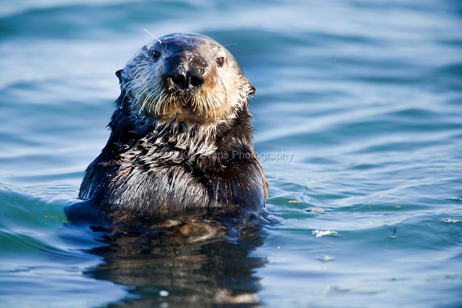 sea otters in the kelp forest Alaskan kelp forest photo by david duggins kelp forests are rich in animal species  sea otter, enhydra lutris photo sea otters exert strong control on.
