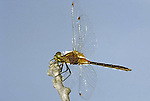Parasitised Meadowhawk Skimmer Dragonfly