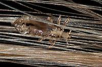 Kopflaus, Kopf-Laus, Laus zwischen Haaren, Pediculus humanus capitis, Pediculus humanus, Pediculus capitis, Menschenläuse, Menschlaus, Pediculidae, Tierlaus, Tierläuse, Läuse, Phthiraptera, head louse
