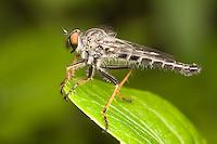 Robber Fly (Neoitamus flavofemoratus) - Male, West Harrison, Westchester County, New York