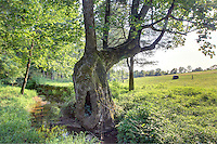 A large oak tree at Panaroma Farms in Albemarle County, VA. Photo/Andrew Shurtleff