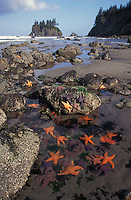 lk5999. tidepools at low tide, many Ochre Sea Stars (Pisaster ochraceus) revealed. Point of Arches, Washington, USA, Pacific Ocean..Photo Copyright © Brandon Cole. All rights reserved worldwide.  www.brandoncole.com..This photo is NOT free. It is NOT in the public domain. This photo is a Copyrighted Work, registered with the US Copyright Office. .Rights to reproduction of photograph granted only upon payment in full of agreed upon licensing fee. Any use of this photo prior to such payment is an infringement of copyright and punishable by fines up to  $150,000 USD...Brandon Cole.MARINE PHOTOGRAPHY.http://www.brandoncole.com.email: brandoncole@msn.com.4917 N. Boeing Rd..Spokane Valley, WA  99206  USA.tel: 509-535-3489