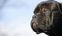 Adult Cane Corso Dog, an Italian breed of dog.