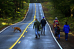 October 13, 2003 - A group of Portland-area chefs and their entourage work both sides of the road while out on the hunt for chanterel mushrooms north of Carson, Washington, in the Gifford Pinchot National Forest.