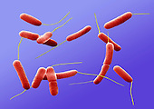 Bacteria ,E. coli, - SEM