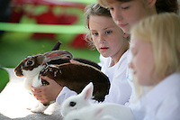 Olivia Shannon, 9, of Ferndale, participates in the novice fitting and showing with Seredipity, a velveteen lop, at the NW Washington Fair. August 18, 2009 PHOTOS BY MERYL SCHENKER ..