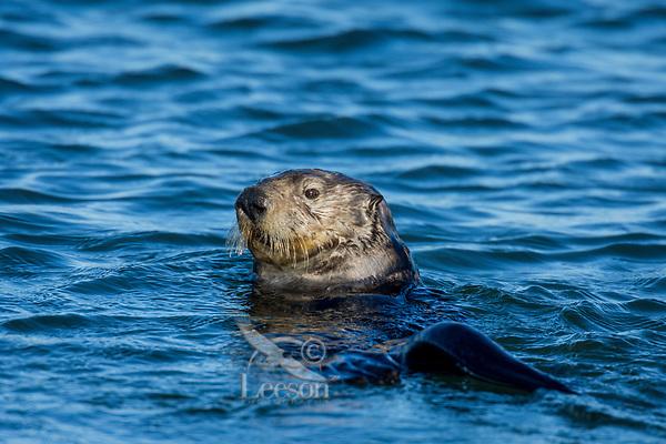 Southern Sea Otter (Enhydra lutris nereis).  Monterey Bay, CA.