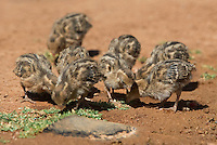 574470037 wild gambel's quail chicks callipepla gambelli forage along the ground in green valley arizona united states