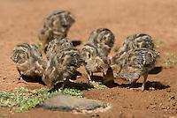 574470037 wild gambel's quail chicks callipepla gambelli forage along the ground in green valley arizona united states