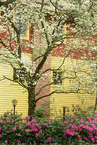 Yellow house with blooming dogwood