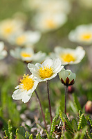 Mountain avens, Brooks range mountains, Arctic National Wildlife Refuge, Alaska