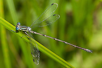 Slender Spreadwing (Lestes rectangularis) Damselfly - Male, Ward Pound Ridge Reservation, Cross River, Westchester County, New York