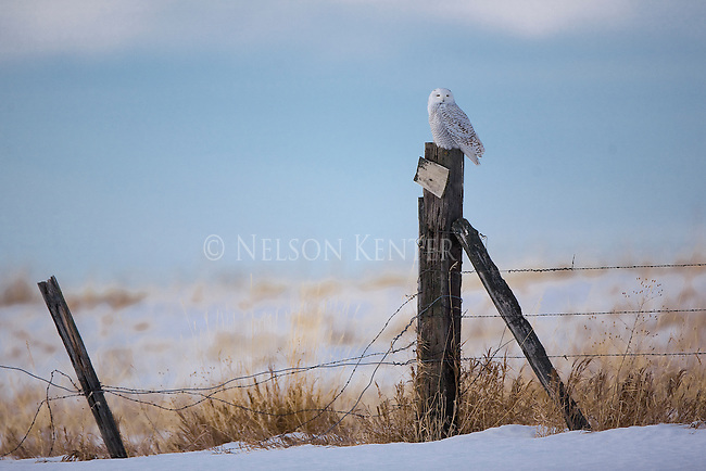 Snowy Owl on a fence post in winter near Polson, Montana