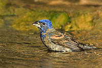538680024 a wild juvenile male blue grosbeak guiraca caerulea bathes in a small pond in the rio grande valley of south texas