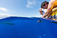 Tourists taking photos with their underwater cameras as two whales swim close to their inflatable boat off of Maui.