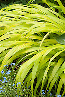 Hakenochloa macra 'All Gold', Hosta 'Halcyon', Forget-me-not Myosotis in blue flowers