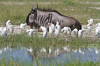 A flock of cattle egret standing next to a lone blue wildebeest at the water's edge, Botswana, Africa