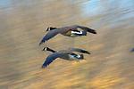 Canadian Geese in Flight, Fairmount Park, Philadelphia, PA, Winter 2010