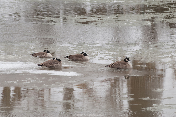 Four Canada geese on the partly frozen Rocky River.