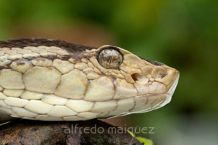 cottonmouth snake coloring page images