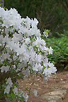 Spring azalea, with pine needle mulch, Mercer Arboretum, Houston, Texas.