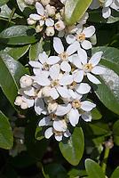 Choisya ternata in white spring bloom closeup