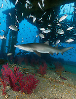 TP0191-Dr. Sand Tiger Shark (Carcharias taurus) swimming inside the shipwreck of the Aeolus, a 409-foot long tanker sunk on purpose in 1988 to create an artificial reef. Colorful gorgonians grow between the decks, a favorite place for the sharks and fish to aggregate. Ovoviviparous reproductive mode, and embryophagous. After having developed inside eggs in the uterus and cannibalizing their siblings for nourishment, the two strongest pups are born live at about 3 feet long after a 8-10 month gestation period. North Carolina, USA, Atlantic Ocean.<br /> Photo Copyright &copy; Brandon Cole. All rights reserved worldwide.  www.brandoncole.com