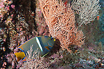 Cocos Island, Costa Rica; an adult King Angelfish (Holacanthus passer) foraging for food amongst sea fans on the rocky reef