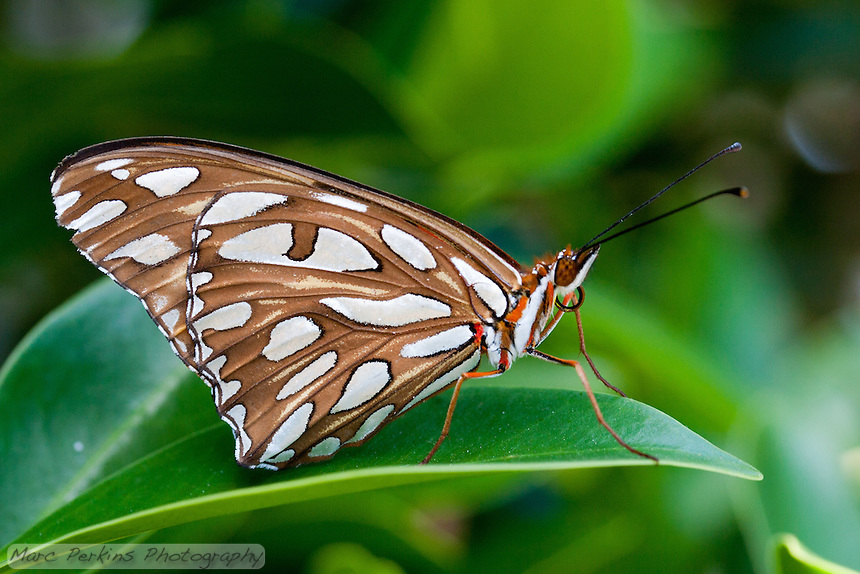 A gulf fritillary [Agraulis vanillae incarnata] stands on a [Ficus] leaf.  The spots on its wings when closed are white in the shade (as in this image), but reflect light to appear a beautiful silver when illuminated.  When its wings are closed, the bright orange and red colors of the butterfly are completely hidden.