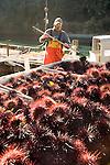Sea urchin catch at Fort Bragg