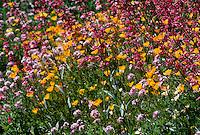 Colorful Wildflowers blooming in Arizona.