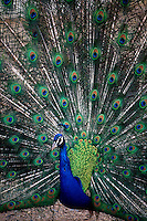 PEAFOWL<br /> Peacock<br /> Male Indian Peafowl
