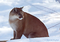 0218-1019  Mountain Lion (Cougar) in Snow, Puma concolor (syn. Felis concolor)  © David Kuhn/Dwight Kuhn Photography.