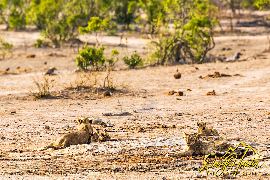 Lion pride relaxing under the blazing sun of Kruger National Park in South Africa.