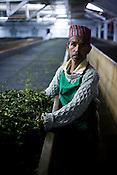 55 year old factory worker, Indrey Sarki poses for a portrait while spreading the first flush Darjeeling tea leaves' pluck during the weithering process at Makaibari Tea Estate factory, Kurseong in Darjeeling, India.
