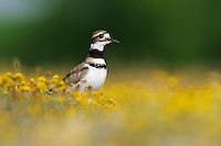 Killdeer (Charadrius vociferus), adult in wildflower field, Laredo, Webb County, South Texas, USA