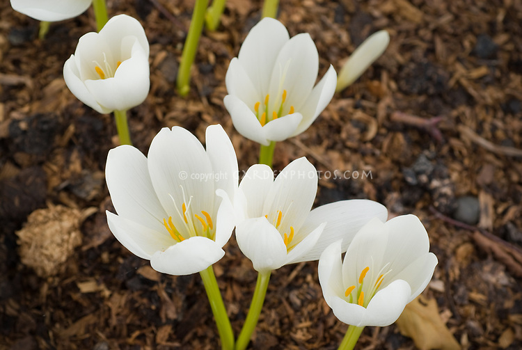 Colchicum speciosum 39 album 39 white flowered form of fall blooming bulb plant flower stock - Flowers that bloom in autumn ...