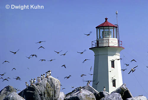 MC11-029a  Machias Seal Island - Bay of Fundy, island, lighthouse, puffins, sea birds