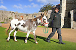 New Donkey at Carisbrooke Castle. Photographs of the Isle of Wight by photographer Patrick Eden