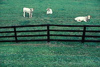 Three cows fenced in on green pasture of a Lancaster county, PA. farm.