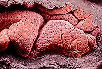 Highly folded surface of the mammal uterine endometrium showing the numerous openings of uterine glands. SEM X55.  **On Page Credit Required**