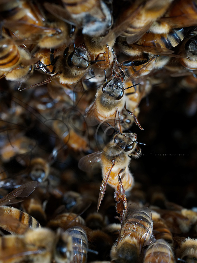 The wax chain with honeybees