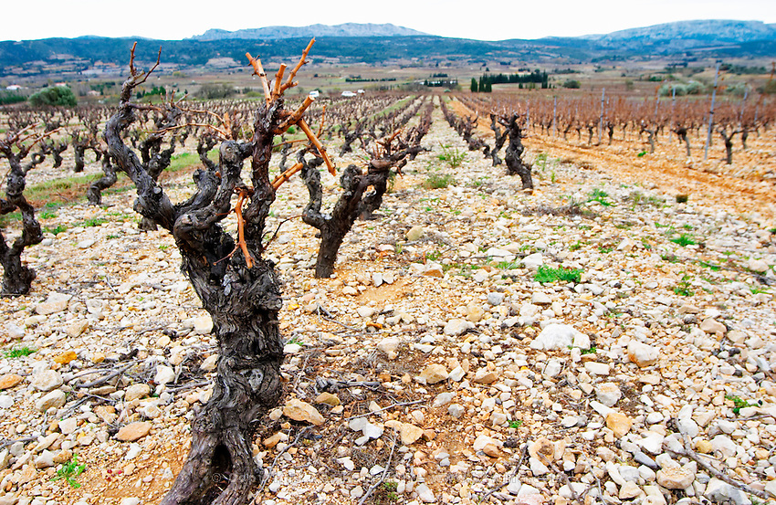 Mont Tauch Cave Cooperative co-operative In Tuchan. Fitou. Languedoc. Vines trained in Gobelet pruning. Old, gnarled and twisting vine. Terroir soil. France. Europe. Vineyard.