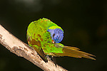 A Rainbow Lorikeet preens itself after a rain-shower.  //  Rainbow Lorikeet - (Psittacidae: Trichoglossus haematodus) Length to 35cm; wingspan to 46cm; weight to 130g. The green areas of its plumage turn brown when saturated with water, and return to green when dry, indicating that green is a structural colour caused by interference with the wavelength of light, rather than a pigment embedded in the feather. Found in coastal regions in northern and eastern Australia from the Kimberley Region in northern Western Australia (Red-collared Lorikeet) to eastern South Australia. Occurs in forests, woodlands and rural and urban areas. Feeds mainly on nectar and pollen which it gathers with its brush-tipped tongue. Aviary-escapees are established in many towns and cities. Now occurs in south-west Western Australia, New Zealand, Hong Kong.  Widespread with many subspecies - often with a different name - from eastern Indonesia (Maluku = Molucca Islands) through New Guinea east to Vanuatu and New Caledonia, north through Manus and the Admiralty Islands the Philippine Islands (taxonomy of the group is not yet finalised and this may be a different species).  Common.  // Brisbane, Queensland, Australia.  //Eric Lindgren//