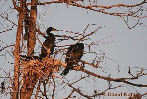 0111-0980  Double-crested Cormorant Sitting on Nest During Sunset, Phalacrocorax auritus  © David Kuhn/Dwight Kuhn Photography