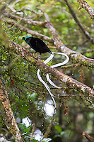 Male Ribbon-tailed Astrapia with long tail feathers, Enga Province, Papua New Guinea