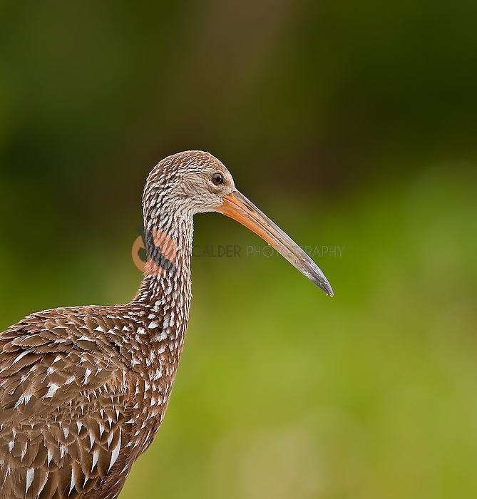 Close up of a Limpkin in profile